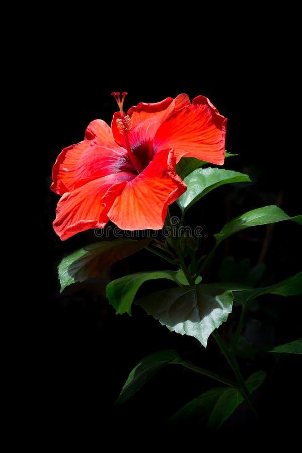 Rode hibiscusbloemen, rode bloemen op een zwarte achtergrond Beauti stock afbeeldingen