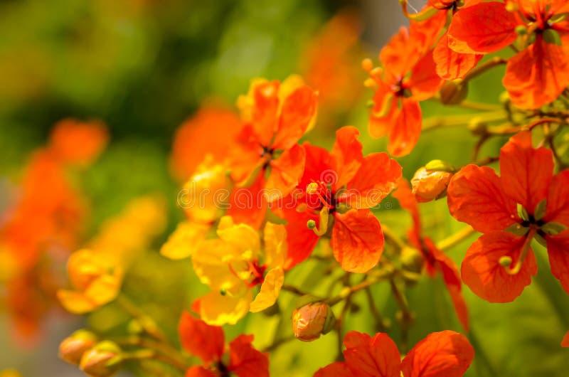Rode hibiscusbloesems in zonlicht royalty-vrije stock foto's