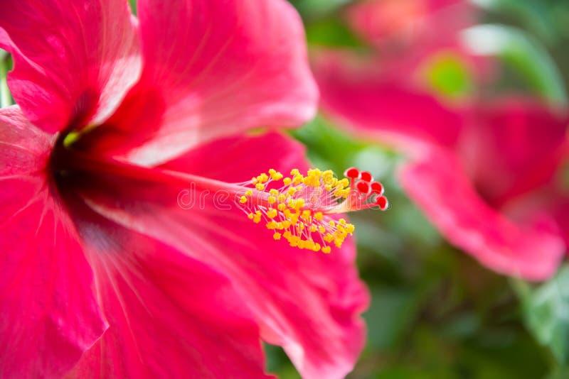 Rode hibiskus royalty-vrije stock fotografie