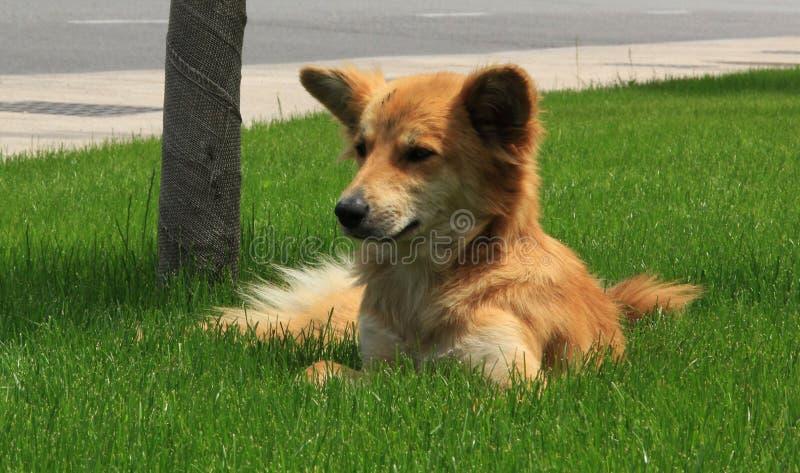 Rode hond royalty-vrije stock foto