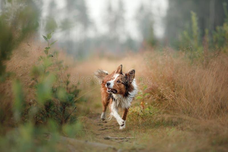 Rode hond die op het gebied lopen Border collie op de aard van ochtend het spelen Lopend met gezonde huisdieren, actief, royalty-vrije stock afbeelding