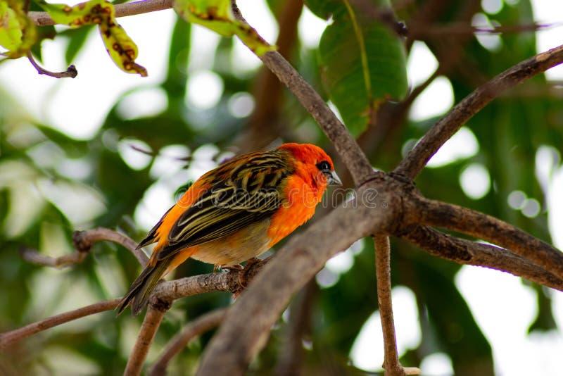 Rode Hoofdbird-zitting op tropische boom stock foto