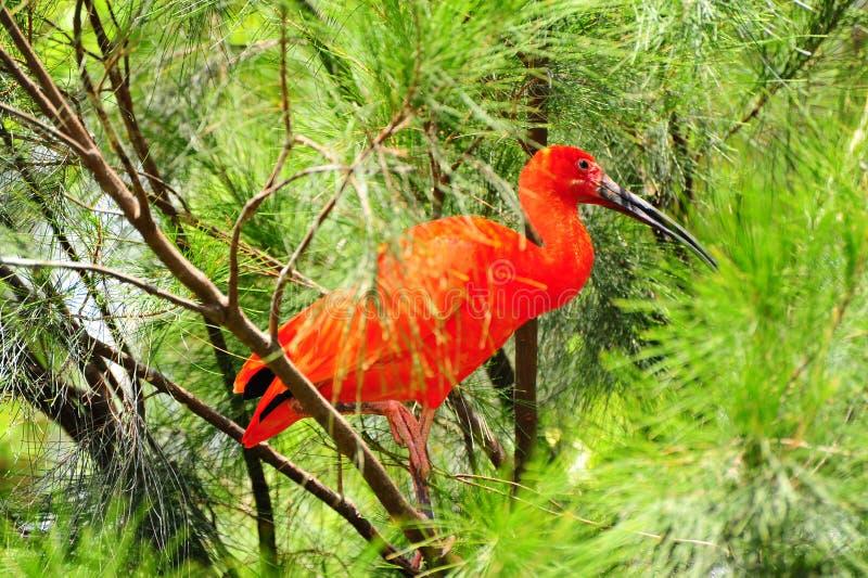 Rode Ibis stock foto