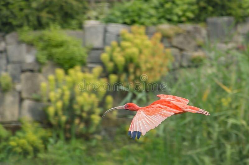 Rode ibis tijdens de vlucht stock afbeeldingen