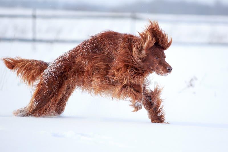 Rode Ierse Zetterhond Royalty-vrije Stock Foto