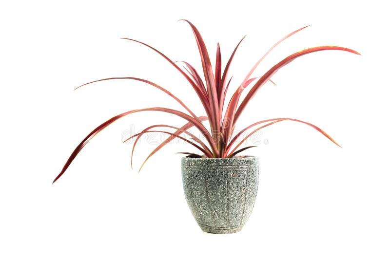 Rode ingemaakte die installatie, bomen in de pot op wit wordt geïsoleerd stock afbeelding