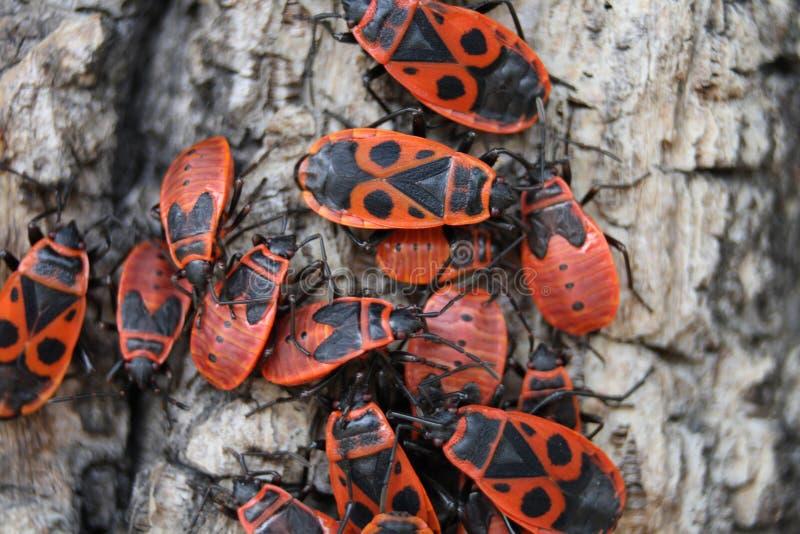 Rode insecten stock foto's