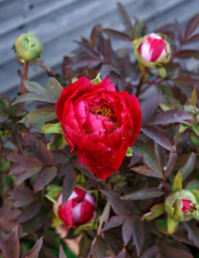 Rode Itoh-Pioen in de tuin van het de lentehuis royalty-vrije stock foto