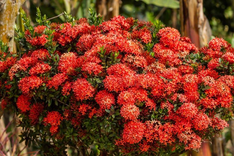 Rode Ixora-bloemen stock foto's