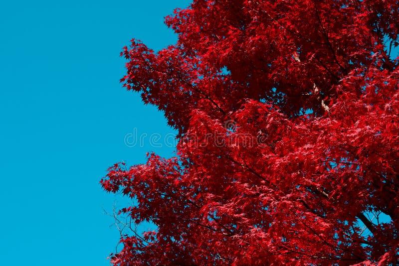 Rode Japanse de dalingsachtergrond van de esdoornboom met de blauwe ruimte van het hemelexemplaar op linkerkant royalty-vrije stock afbeeldingen