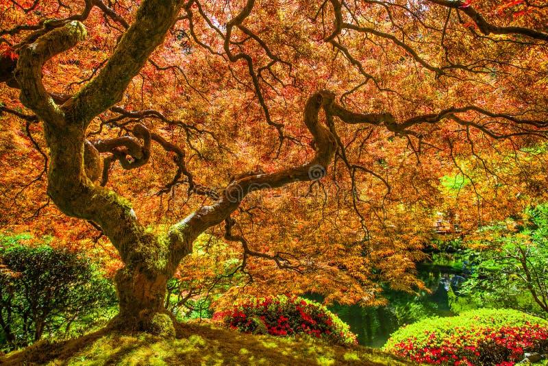 Rode Japanse esdoornboom stock foto's