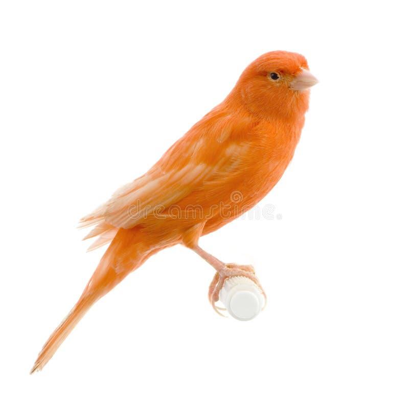 Rode kanarie op zijn toppositie stock afbeelding
