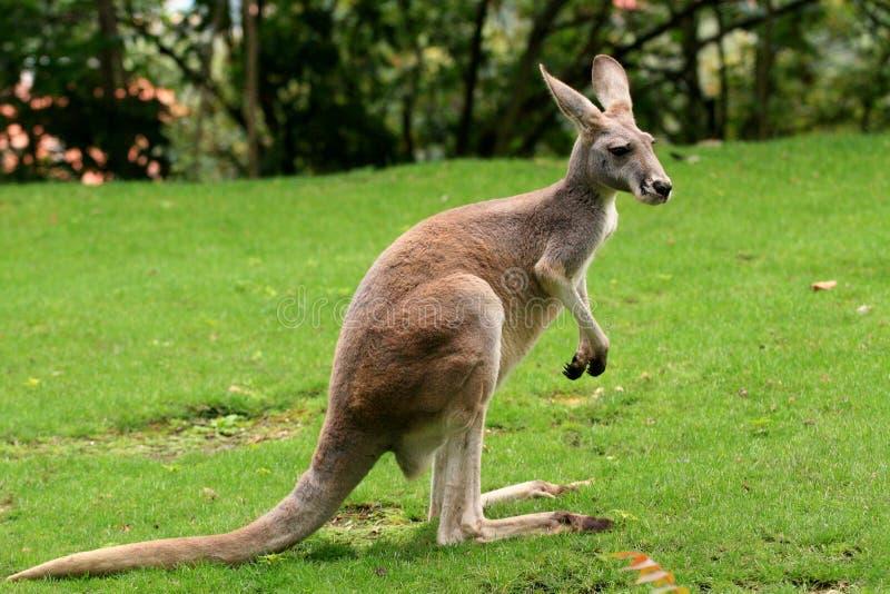 Rode Kangoeroe royalty-vrije stock foto's