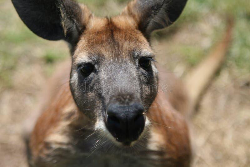 Rode Kangoeroe royalty-vrije stock afbeelding