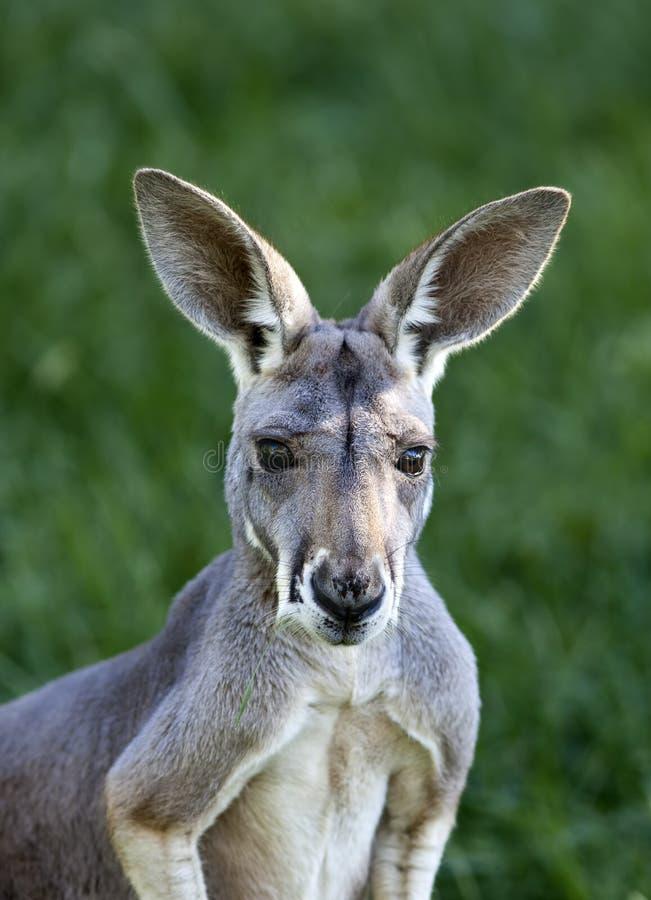 Rode Kangoeroe stock foto