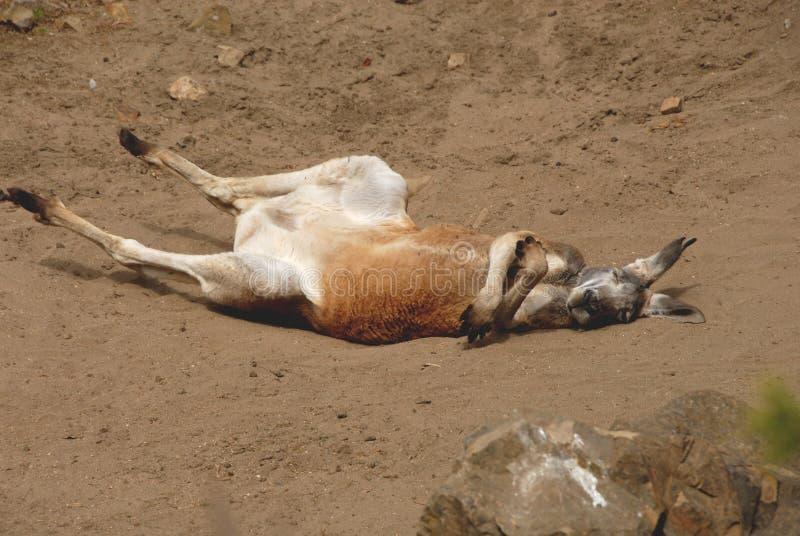 Rode Kangoeroe Stock Afbeelding