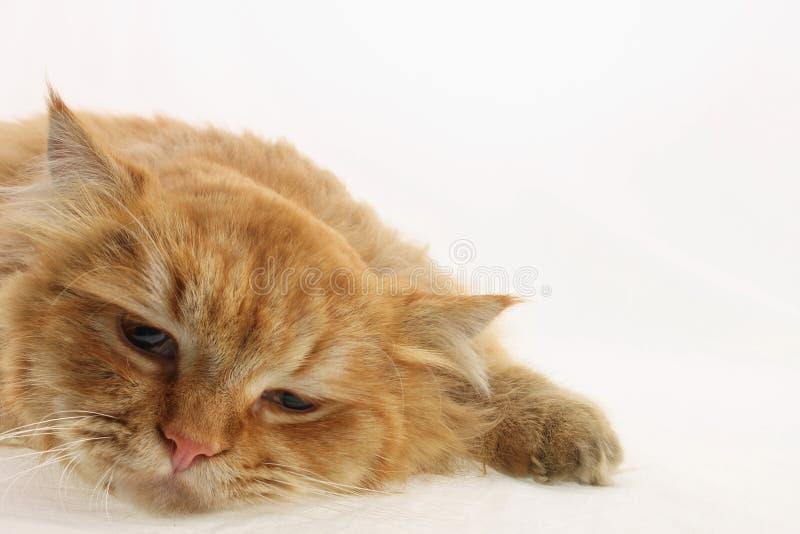Rode kat royalty-vrije stock foto