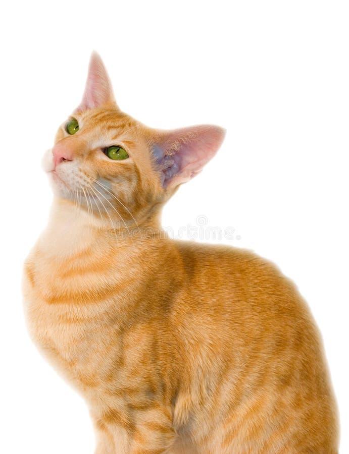 Rode kat royalty-vrije stock afbeelding