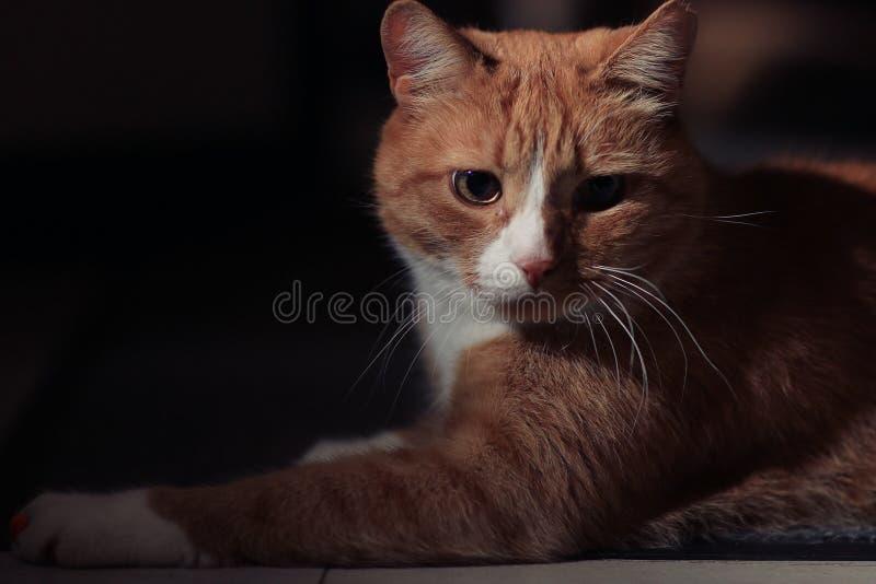 Rode kat bij zwarte achtergrond stock foto