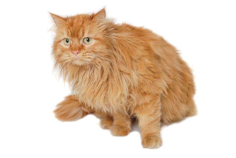 Rode kat die op witte achtergrond wordt geïsoleerd. royalty-vrije stock foto