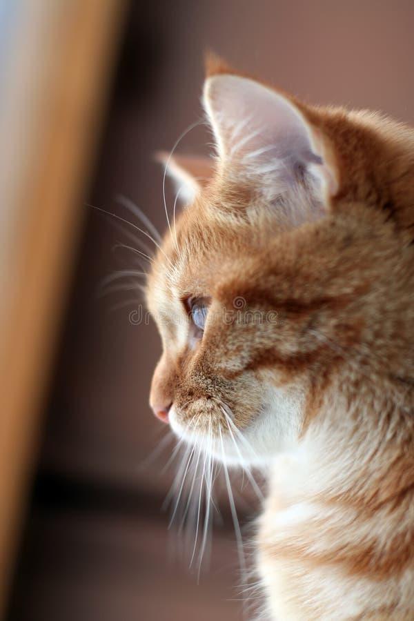 Rode kat in een profiel royalty-vrije stock afbeelding