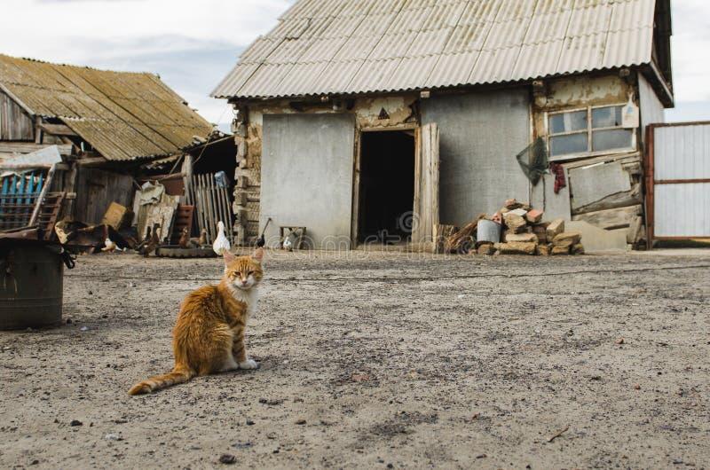 Rode kat in een veewerf in een dorp met oude vernietigde huizen stock foto's