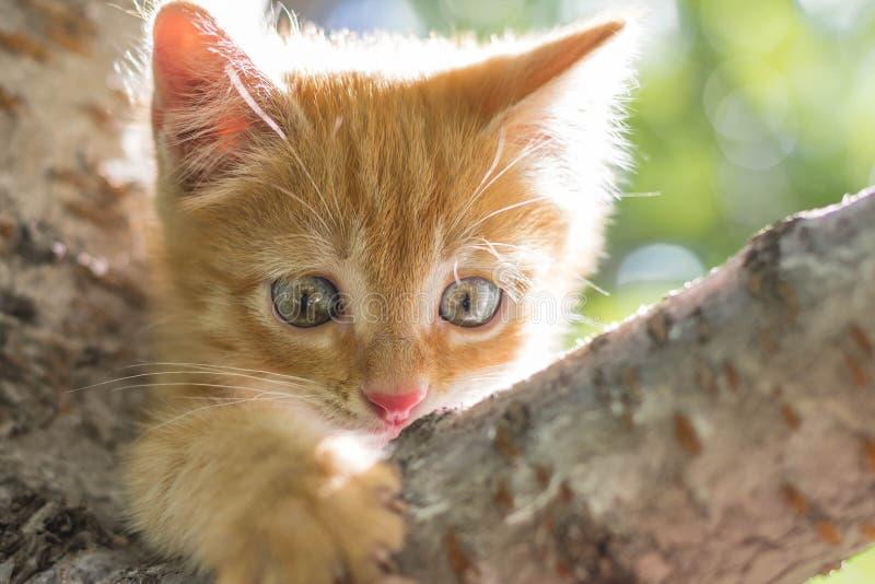 Rode katjeszitting op een boomtak op een zonnige de zomerdag het katje onderzoekt de camera Het portret van de close-up stock fotografie