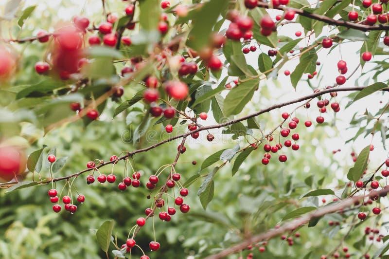 Rode kersen met dauw en groene bladeren op takken voor de wazig hemel royalty-vrije stock foto's