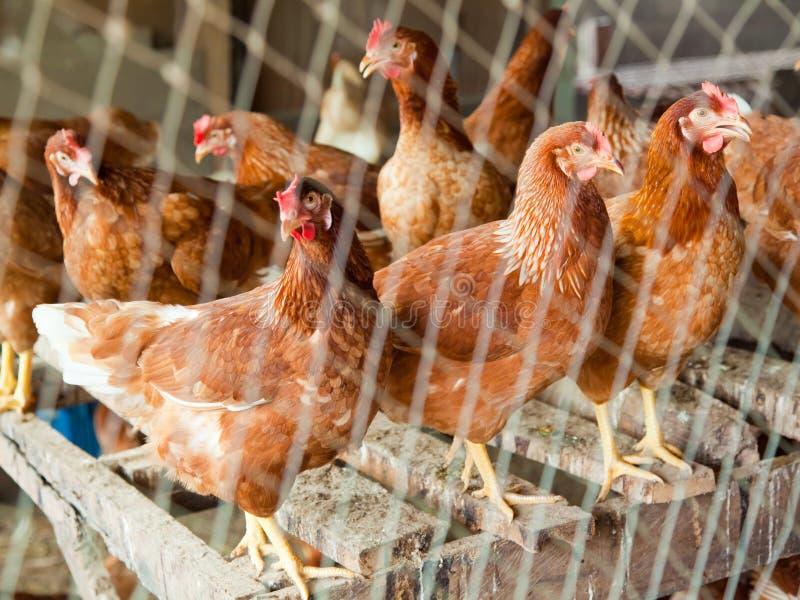 Rode kip in land zijlandbouwbedrijf stock foto