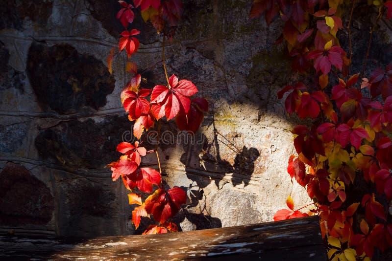 Rode klimopbladeren op een grijze steenmuur op een heldere zonnige Oktober-dag, de foto van de achtergrondtextuuroppervlakte royalty-vrije stock afbeeldingen