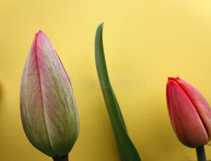 Rode knoppen van tulpen op een heldere gele achtergrond stock fotografie