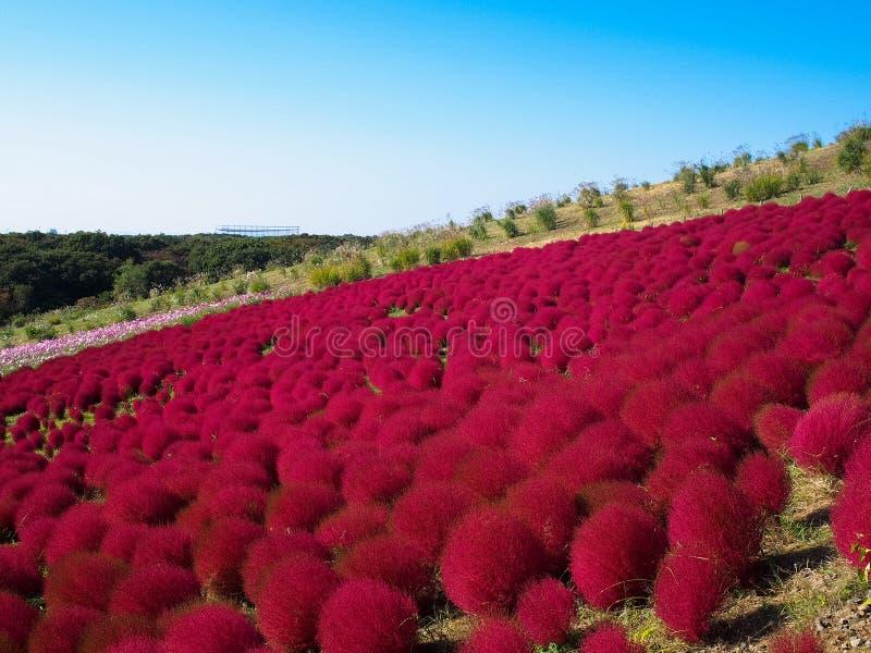 Rode Kochia bij Hitachi-Kustpark royalty-vrije stock foto's