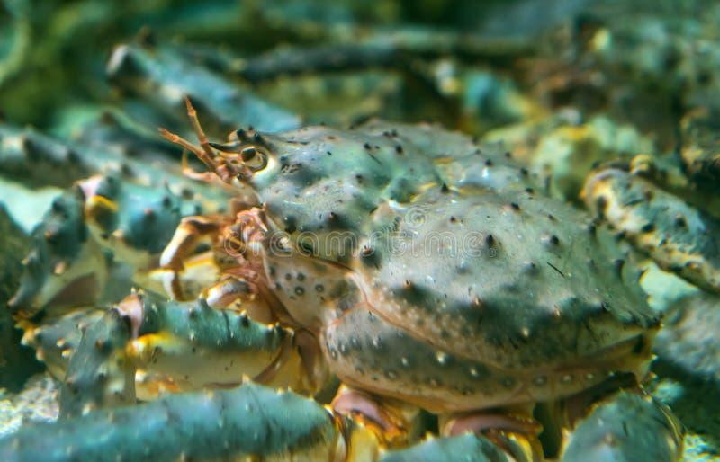 Rode koningskrab onderwater royalty-vrije stock fotografie