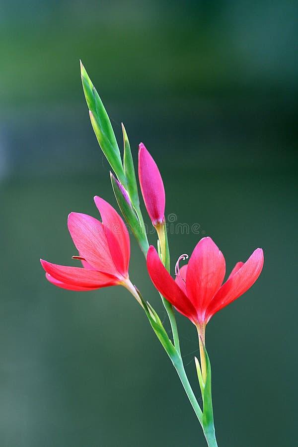 Rode krokusbloemen royalty-vrije stock fotografie