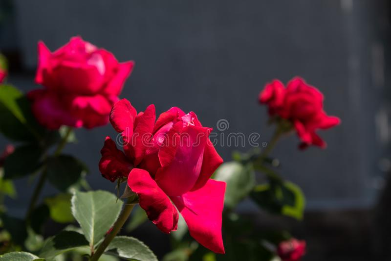 Rode krullende rozen Close-up Ge?soleerd op natuurlijke achtergrond stock afbeelding