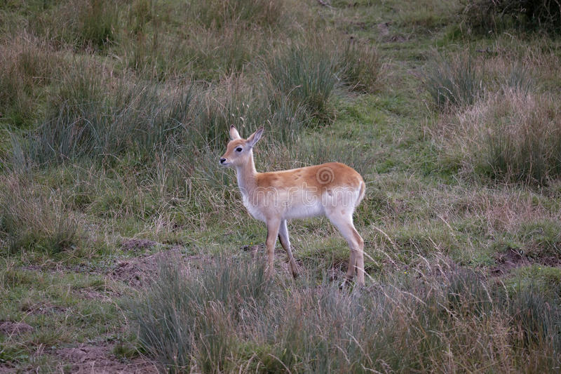 Rode lechweantilope (Kobus leche) stock foto's