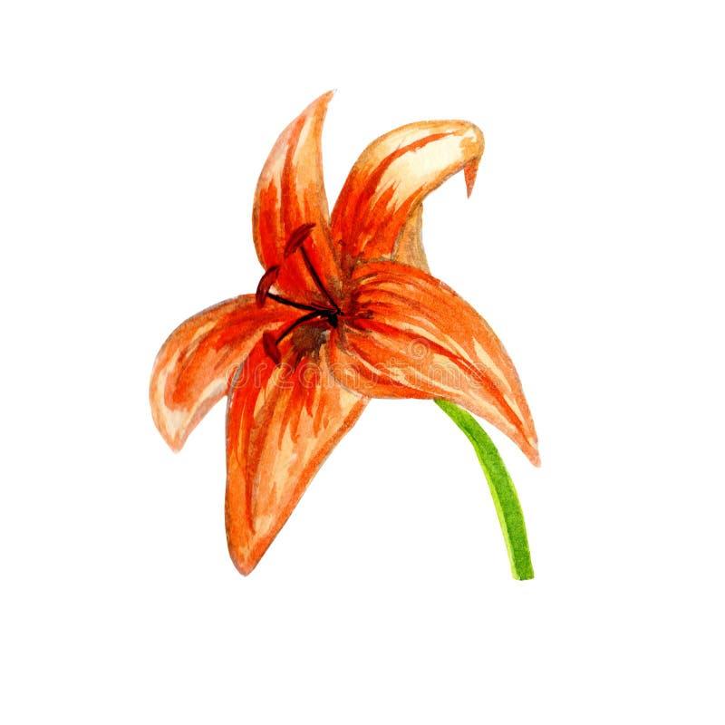 Rode leliebloem met gebogen bloemblaadjes Grote en heldere oranje bloem royalty-vrije stock foto's