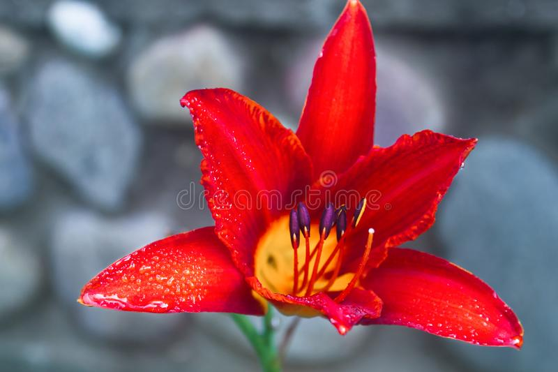 Rode leliebloem met regendalingen royalty-vrije stock foto's
