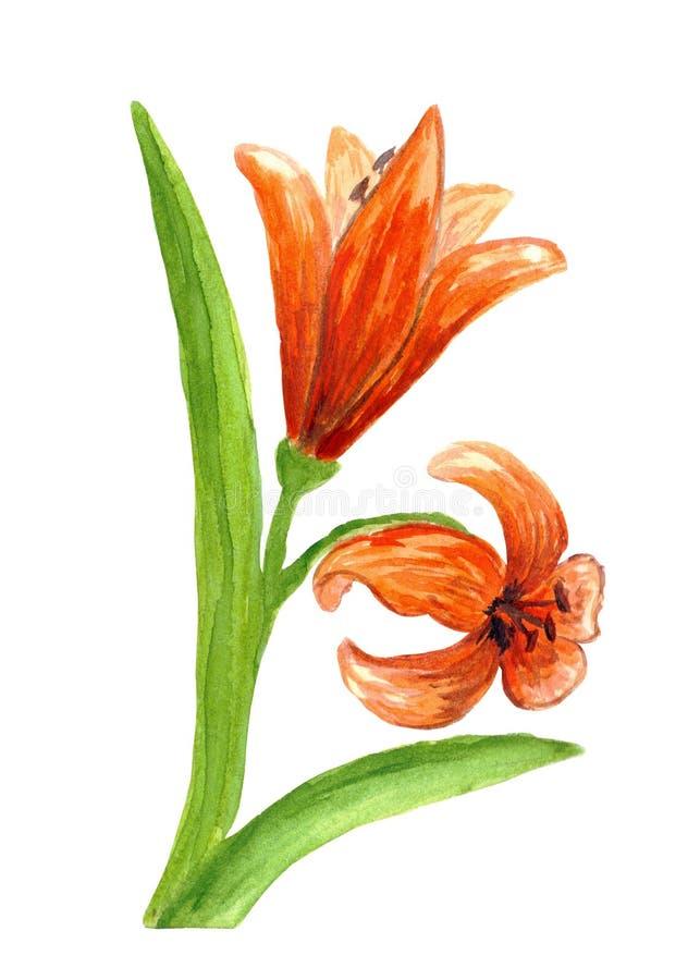 Rode leliebloem, twee bloemen op een stam met lange bladeren stock afbeeldingen