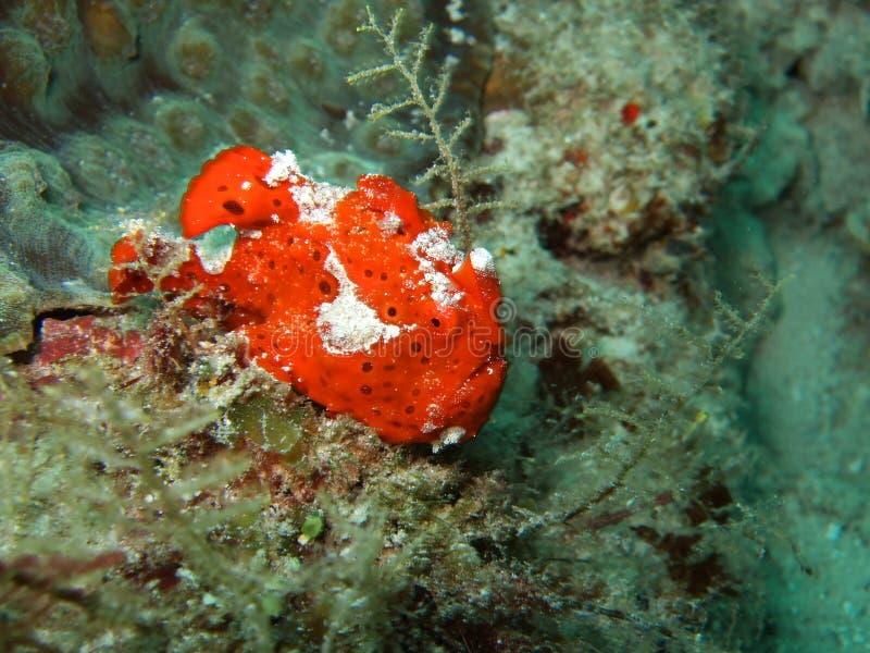 Rode lelijke frogfish royalty-vrije stock foto's