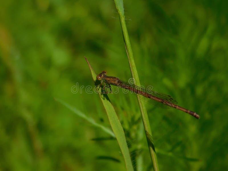 Rode Libel die op grasblad rusten stock foto