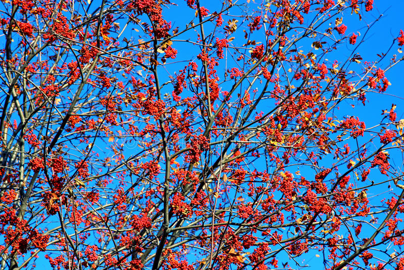 Rode lijsterbessenbessen op een boom tegen een blauwe hemel stock fotografie