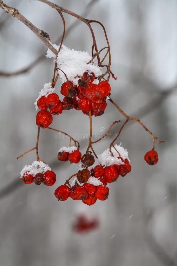 Rode lijsterbessenbessen op een tak in het bos in de winter stock foto's