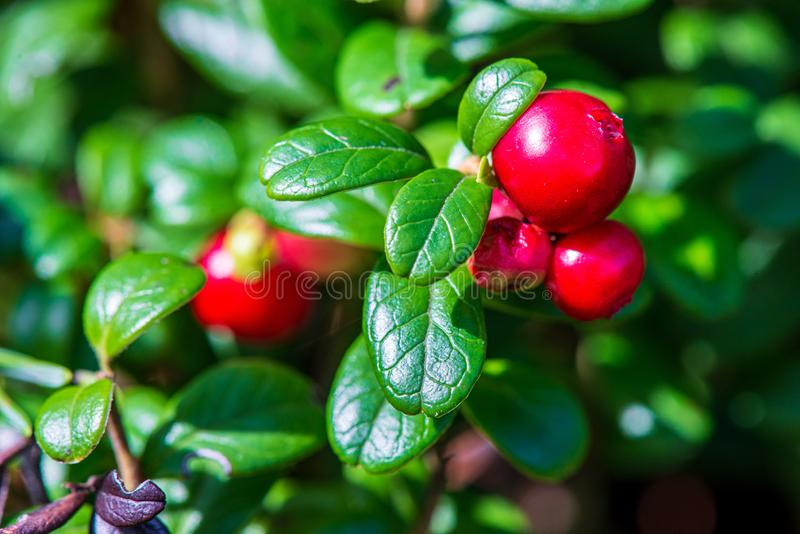 rode lingonberry vruchten in groen bosmos in zonnige de zomerdag stock foto's