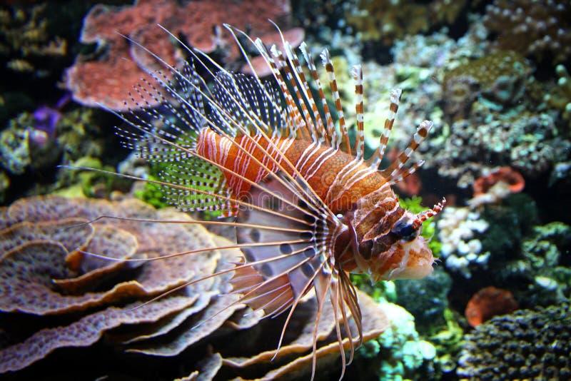 Rode lionfish stock afbeeldingen