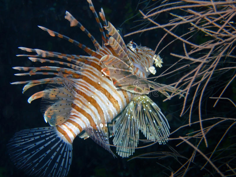 Rode lionfish, de Maldiven royalty-vrije stock afbeeldingen