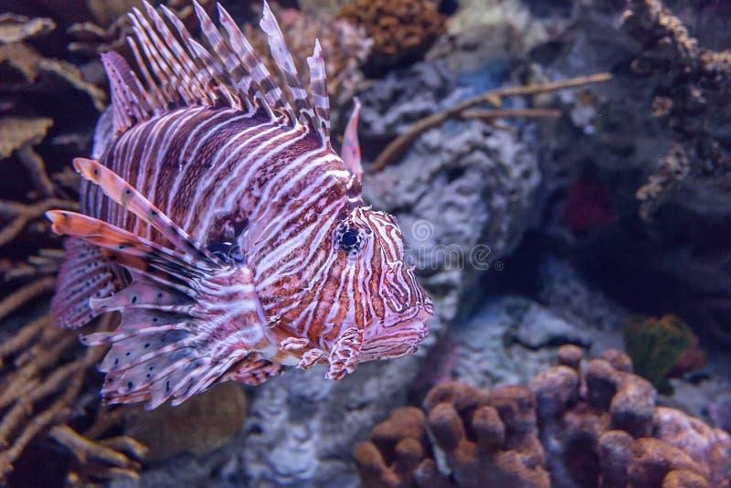Rode lionfish in een koraalaquarium stock foto