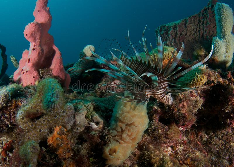Rode Lionfish op een ertsader in Florida stock afbeelding