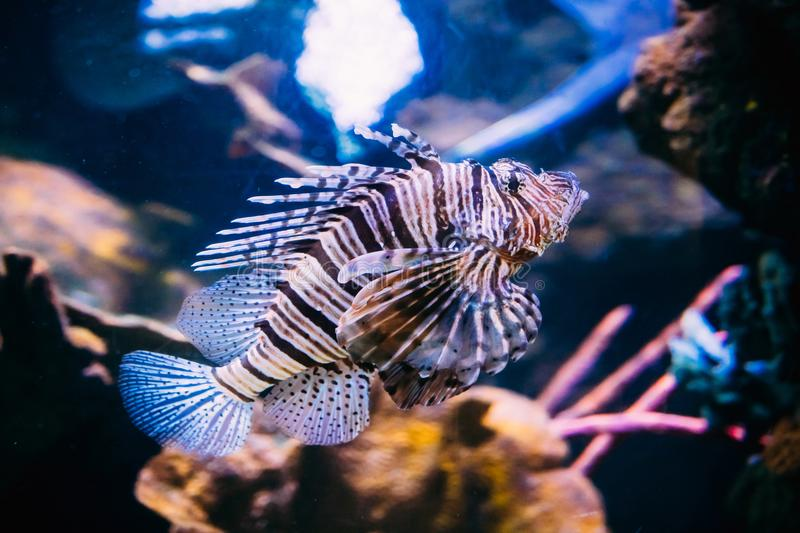 Rode Lionfish Pterois Volitans is Giftige Coral Reef Fish Swimming royalty-vrije stock foto's