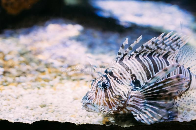 Rode Lionfish Pterois Volitans is Giftige Coral Reef Fish Swimming stock foto